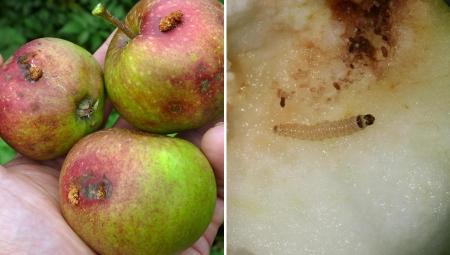 Komunikat sadowniczy, 29 VII 2021 - 2. pokolenie owocówki jabłkóweczki i śliwkóweczki