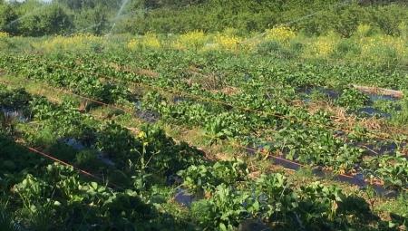 Zabiegi na plantacjach truskawek po zbiorze owoców