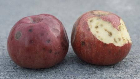 W zebranych jabłkach można oznaczać zawartość boru