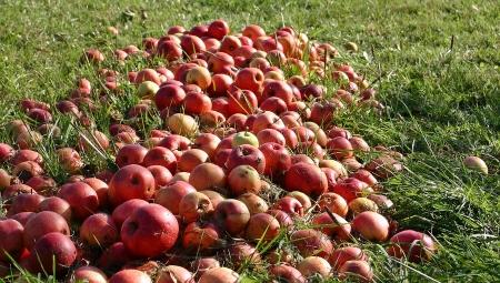 Z opadłych jabłek można zrobić domowy ocet