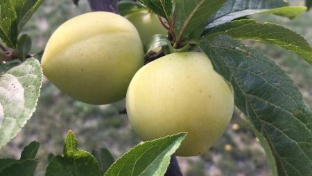 Śliwki też potrzebują dokarmiania wapniem - zapobieganie pękaniu i walka o trwałość owoców