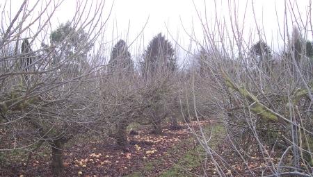 Zimowe cięcie jabłoni i grusz - przeprowadzić zimą, czy czekać do wiosny?