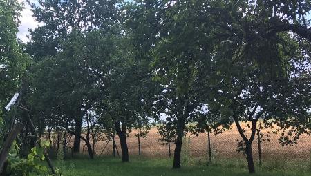 Czy dziś warto jeszcze sadzić jabłonie na podkładkach silnie rosnących?