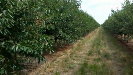Węgierskie odmiany wiśni przyszłością produkcji deserowej?