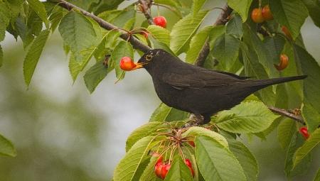 Ochrona sadów czereśniowych przed ptactwem - 6 metod