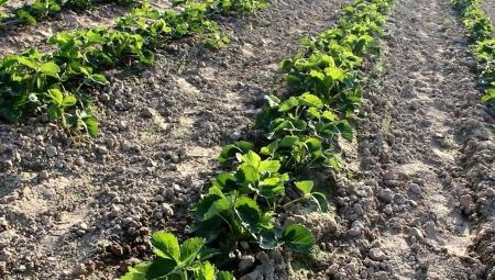 Walka z chwastami na nowo założonych plantacjach truskawek