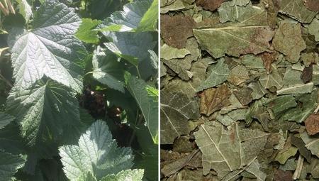 Czarne porzeczki - zbiór liści I (ZAMIAST) owoców?
