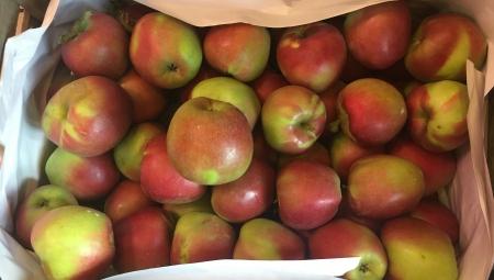 Polskie odmiany jabłoni - czy mają przed sobą przyszłość?
