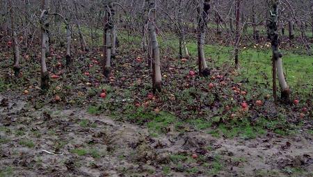 Wysoka wilgotność może sprzyjać wczesnym wysiewom zarodników workowych parcha jabłoni