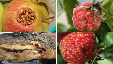 Nie zwalczalne szkodniki roślin sadowniczych