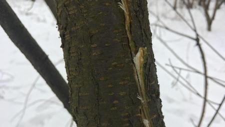 Trafiły się trzaskające mrozy - pionowe pęknięcia pni drzew owocowych