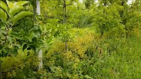 Funkcjonalne rośliny okrywowe - rekompensata dla niższego plonu owoców