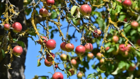 Kto sadzi drzewa owocowe w środku lasu?