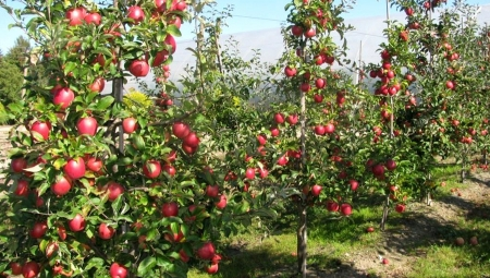 Jabłoń Putinka - niespełniony sen o powrocie na rynek rosyjski