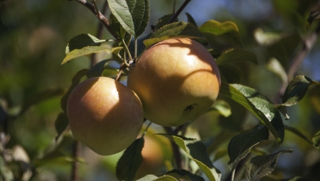 Kierunek orient, czyli japońskie odmiany jabłoni. Czy warto je sadzić?