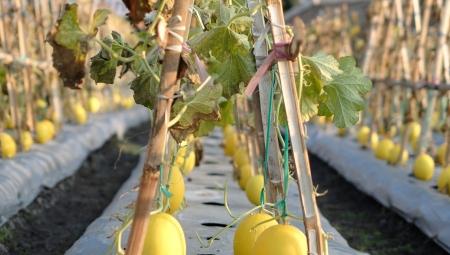Uprawa arbuzów i melonów w polskich warunkach klimatycznych