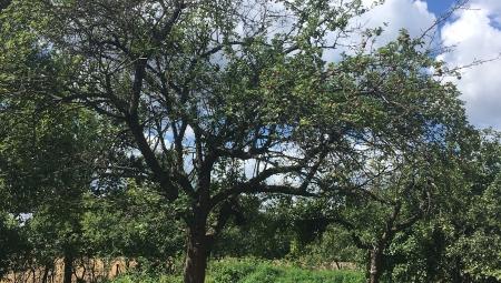 Przycinanie Starych Drzew Owocowych - Jak Przywrócić im Świetność?