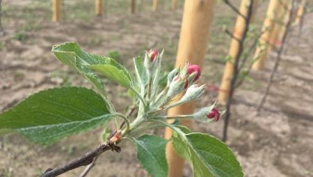 Po posadzeniu nie pozwolić jabłonkom na kwitnienie