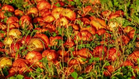 Czy opadłe jabłka zakwaszają glebę?