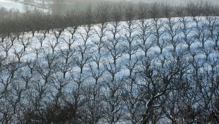 Zimowa lustracja w sadzie - poszukiwanie zimujących form szkodników