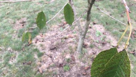 Dlaczego tak istotne jest usunięcie opadłych liści spod drzew owocowych?