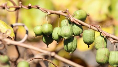 Minikiwi - czy uprawa jesiennego owocu jagodowego ma w Polsce przyszłość?