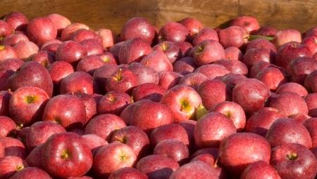 Jak określić przydatność jabłek do długiego przechowywania?