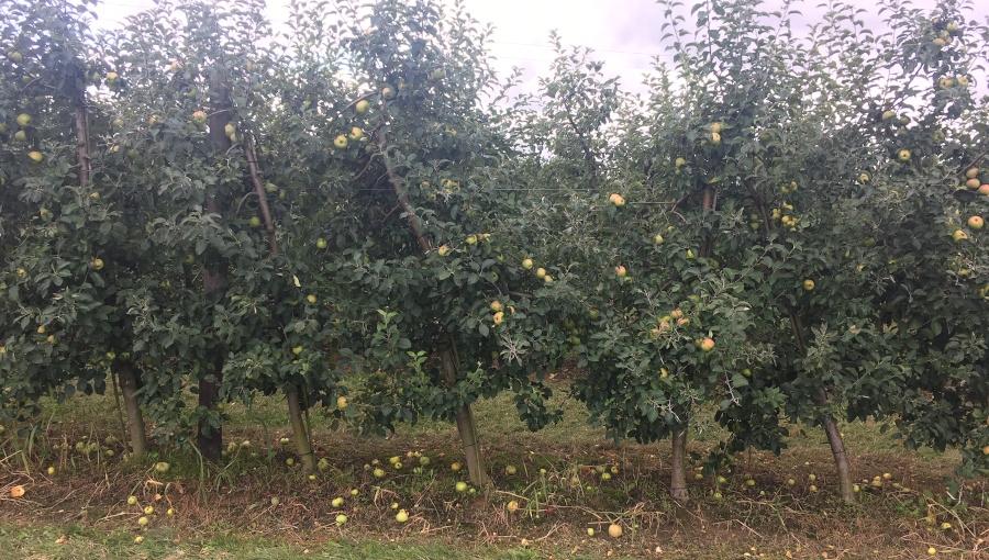 Opłaca się schylać po spady? Ceny jabłka przemysłowego, 04 IX 2020