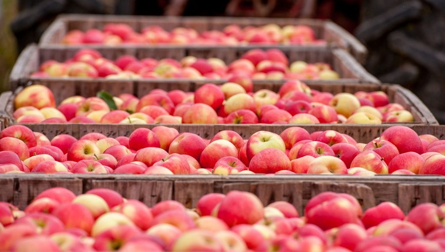 Ceny jabłek i gruszek w sprzedaży hurtowej, 12 IX 2020, ŁRH Zjazdowa