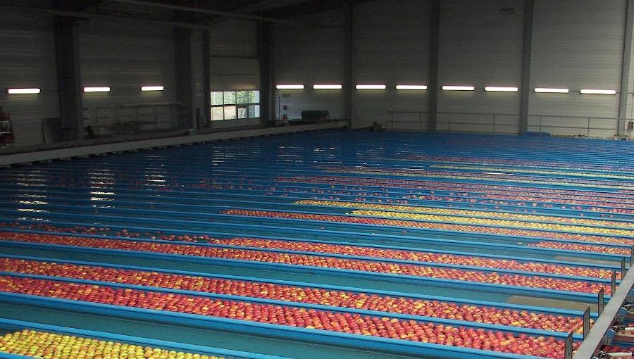 Ceny jabłek w grupach producenckich, 19 I 2021