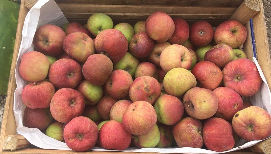 Czy opłaca się długie przechowywanie letnich i jesiennych odmian jabłek?