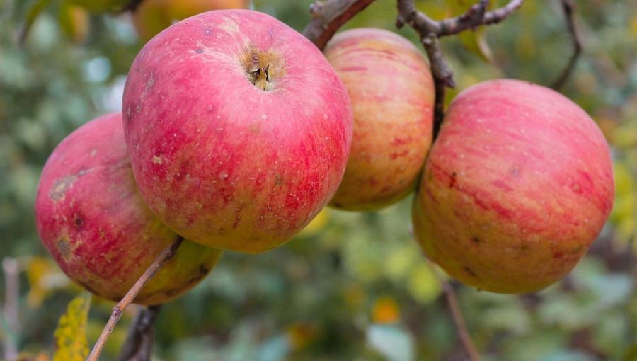 Wzrost cen jabłka przemysłowego, 5 X 2020