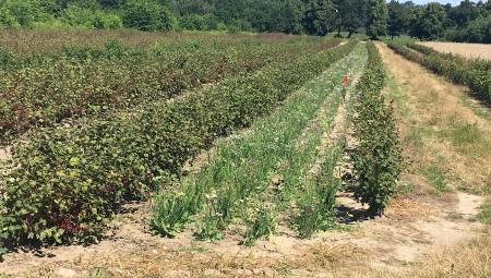 Uprawy współrzędne - krok wstecz czy ratunek dla niskiej opłacalności produkcji owoców?