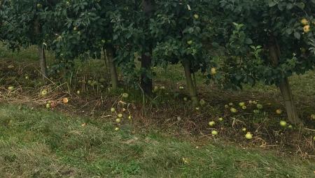 Sezon na jabłko przemysłowe rozpoczęty względnie dobrymi cenami przerywki