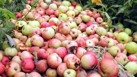 Dalsze wzrosty cen jabłek przemysłowych, 19 X 2020
