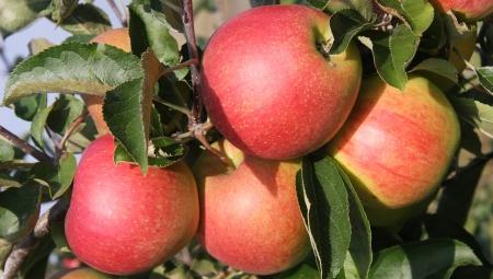 Dlaczego ceny jabłek deserowych są takie niskie?