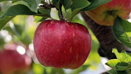Polskie jabłko to nie pulpa i koncentrat - pilna potrzeba repozycjonowania jabłek!