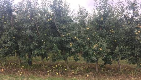 Opłaca się schylać po spady? Ceny jabłka przemysłowego, 4 IX 2020
