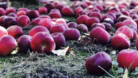Ceny jabłek przemysłowych wyższe, ale niższe niż można by się spodziewać, 10 XI 2020