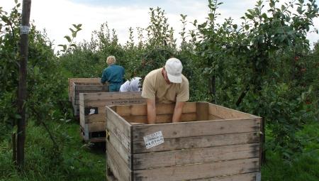 Jak kształtują się stawki za zbiór jabłek w 2021 roku?