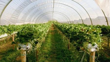 Truskawki z opóźnionej uprawy - czy to się opłaca?