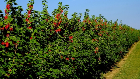 Szpalerowa produkcja deserowych porzeczek kolorowych - perspektywiczna nisza w sadownictwie?