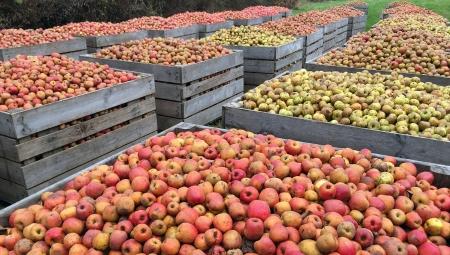 Podsumowanie sezonu jabłek przemysłowych 2020 na tle roku 2019