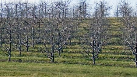 Czy przy zimowym cięciu drzew i krzewów owocowych ma zastosowanie umowa zawierana z pomocnikiem rolnika przy zbiorach?