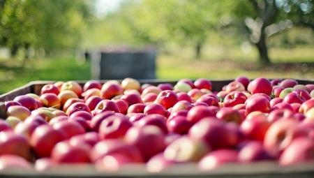 Sadowniku! Nie obowiązuje Cię minimalna stawka godzinowa dla pracowników zbierających owoce!