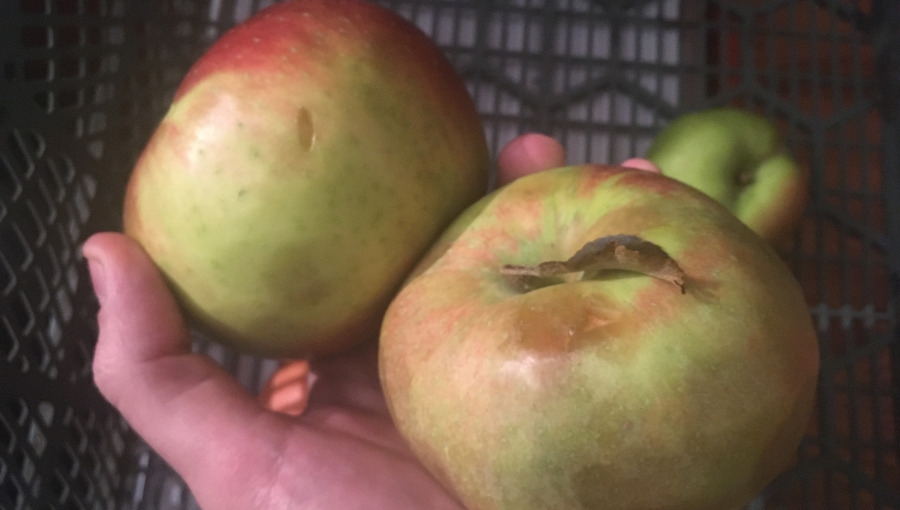 Detaliści sprzedają jabłko pogradowe w cenie klasy 1