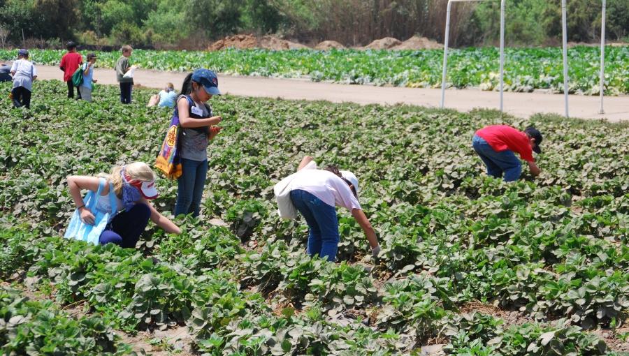 Huelva 2021: pomimo rekordowych mrozów, wyższe zbiory truskawek