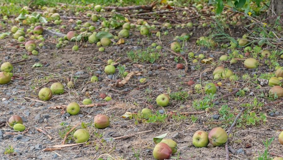 Co ze skupem jabłek z przerywki w 2021?
