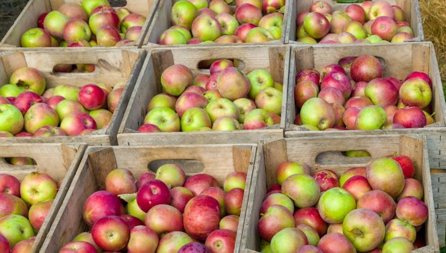 Jak duże są zapasy jabłek w polskich chłodniach? - wątpliwości wokół prognozy WAPA