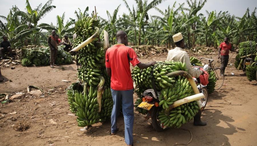 Unia Europejska narzuca Polsce import owoców tropikalnych